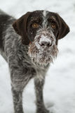 Dog muzzle in the snow stock photo