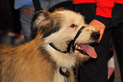 Dog muzzled Royalty Free Stock Photo