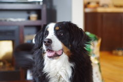 Dog. This is my Bernese Mountain Dog Stock Photography