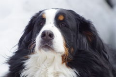 Dog. This is my Bernese Mountain Dog Stock Photo