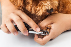 Dog nails being cut and trimmed during grooming.  stock photo