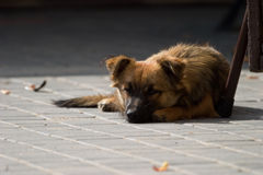 Dog without name Stock Photography