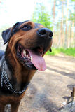 Dog named Rik. Another dog i met on my way Royalty Free Stock Photography