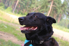 Dog named Tima. Pretty dog i met in forest Royalty Free Stock Photography