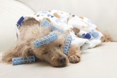 Dog Nap. A poodle in bathrobe and curlers takes a nap on the sofa Royalty Free Stock Photo