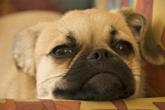 Dog napping. A little dog dozing and preparing to take a nap Royalty Free Stock Image