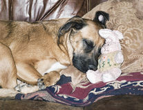 Dog Napping With a Stuffed Easter Bunny Royalty Free Stock Image