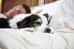 Dog naps on bed beside his owner Royalty Free Stock Photo