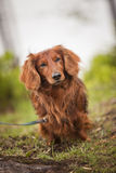 Dog in nature royalty free stock images