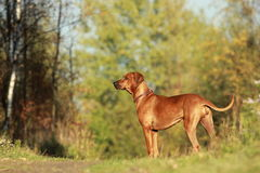 Dog in nature. Dog in beautiful autumn nature Royalty Free Stock Image