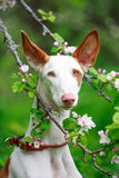 Dog on nature. Dog with apple-tree blossoms Royalty Free Stock Photos