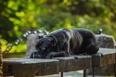 Dog on nature autumn breed Cane Corso Royalty Free Stock Image