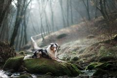 Dog in nature in the morning. Australian shepherd at sunrise near the water. Pet for a walk. Dog in nature in the morning. Australian shepherd at sunrise in the stock photography
