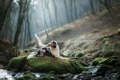 Dog in nature in the morning. Australian shepherd at sunrise near the water. Pet for a walk stock photo