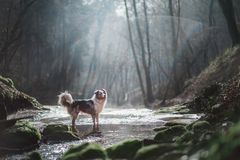 Dog in nature in the morning. Australian shepherd at sunrise near the water. Pet for a walk stock image