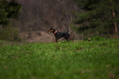 Dog on the nature. Of the rack Royalty Free Stock Photos
