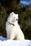 Dog on nature. Samoyed puppy in winter on nature Royalty Free Stock Images