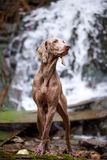 Dog on nature. Weimaraner dog on nature near waterfall Stock Photo