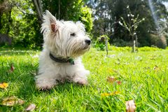 Dog in nature: west highland terrier westie on grass with leaves. In spring, summer or fall, looking away from camera royalty free stock image