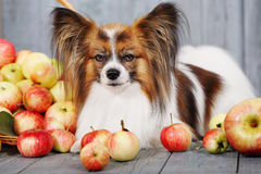 Dog near the apple Stock Images