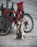 A dog near the bicycle Royalty Free Stock Photos