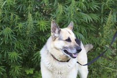 Dog near cannabis plants Stock Photography