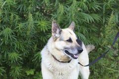 Dog near cannabis plants stock photography