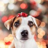 Dog near christmas tree royalty free stock photo