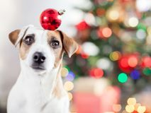 Dog near christmas tree royalty free stock image