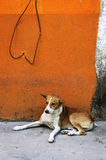 Dog near colorful wall in Mexican village Royalty Free Stock Image