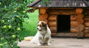 Dog near doghouse. Lonely dog watching out near his doghouse Royalty Free Stock Image