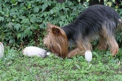 Dog near few mushrooms Royalty Free Stock Photos