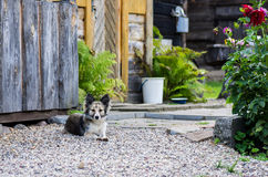 Dog near house. Small mixed breed dog near house lying as a guard Royalty Free Stock Photo