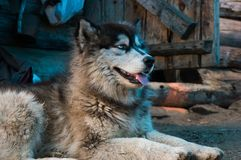 The dog near the hut in the wild Siberian taiga. stock photos