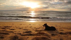Dog near the indian ocean. Evening stock video footage