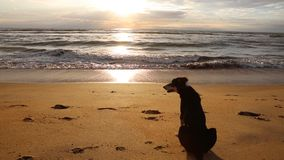 Dog near the indian ocean. Evening stock footage