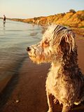 A dog near lake. A dog is watching her master bathing Stock Photos