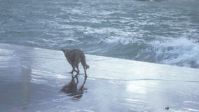 Dog near the sea surf stock footage
