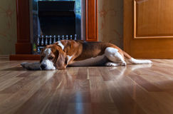 Dog near to a fireplace Stock Photography