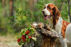 Dog near to trophies Stock Image