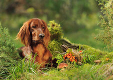 Dog near to trophies Royalty Free Stock Photo