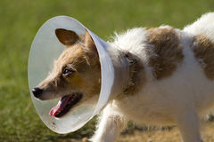 Dog in Neck Cone Collar. Spotted dog wearing a protective neck cone, an Elizabethan collar, or e-collar stock image