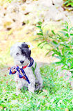 Dog with neck scarf in the garden Stock Images