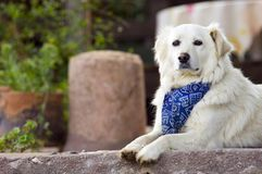 Dog with neckerchief. Outdoor portrait of a cute white lying dog wearing a neckerchief and staring Stock Photography
