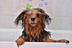 The dog needs a towel. Freshly washed dog waiting for a towel Royalty Free Stock Images