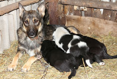 Dog and newborn puppies Stock Images