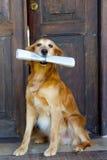 Dog holding newspaper royalty free stock photos
