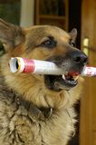 Dog with  newspaper Stock Images