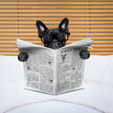 Dog newspaper in bed Royalty Free Stock Photography