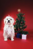 Dog next to Christmas tree. On red Royalty Free Stock Photo